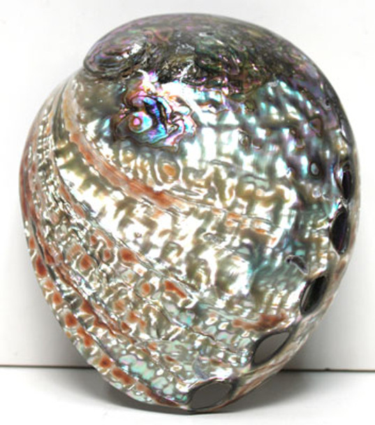 "6"" Polished Pink Abalone"