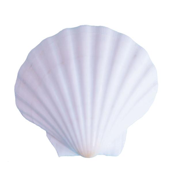 "White Irish Scallop Seashell 4""+"