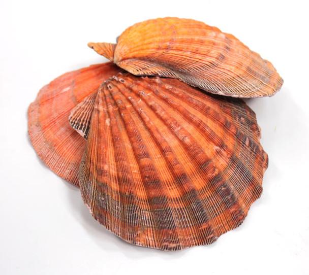 Orange Lion's Paw Scallop Shell