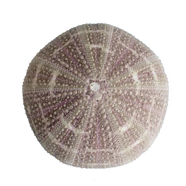Calico Sea Urchin