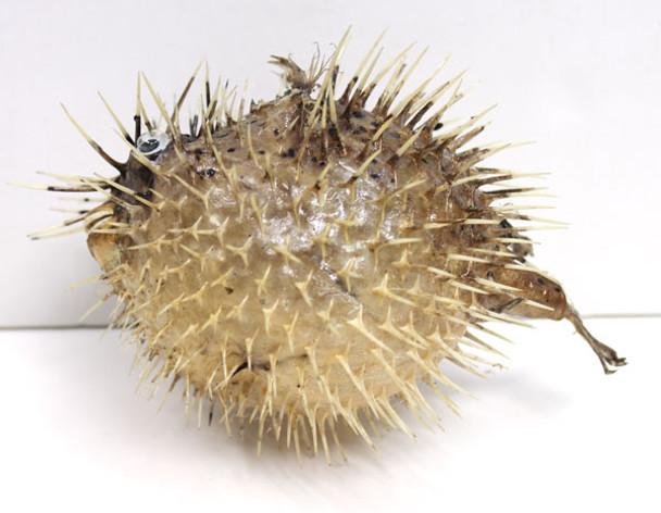 "5-6"" Puffer Fish"