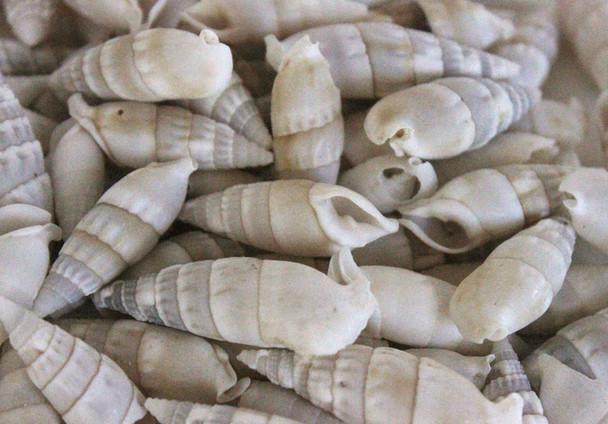 Cerithium Vertagus Seashells - 1 Pound