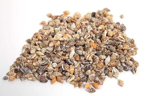 Nassa Shells