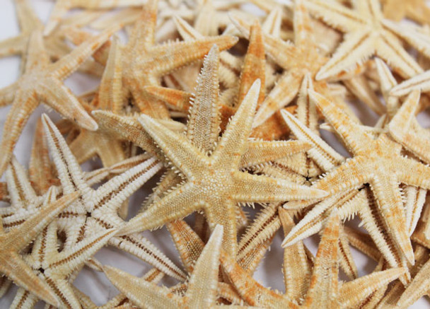 "P.I Starfish 1"" - 100 Pieces"