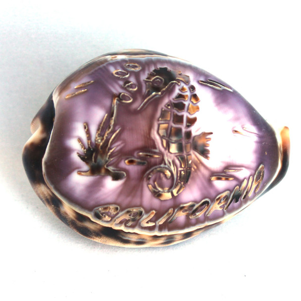 California Seahorse Carved Cowrie