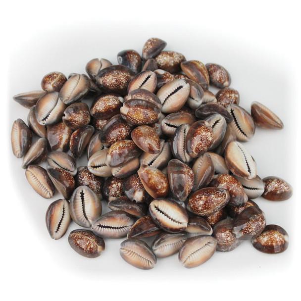 Snakehead Cowrie Shells