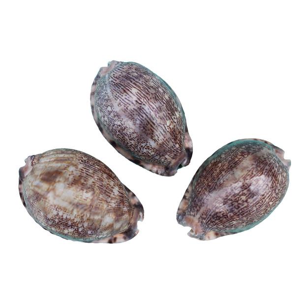 Arabian Cowrie Shell