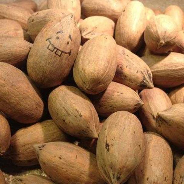 Whole Paper Shell Pecans by the pound Naked Pecans The Nut House