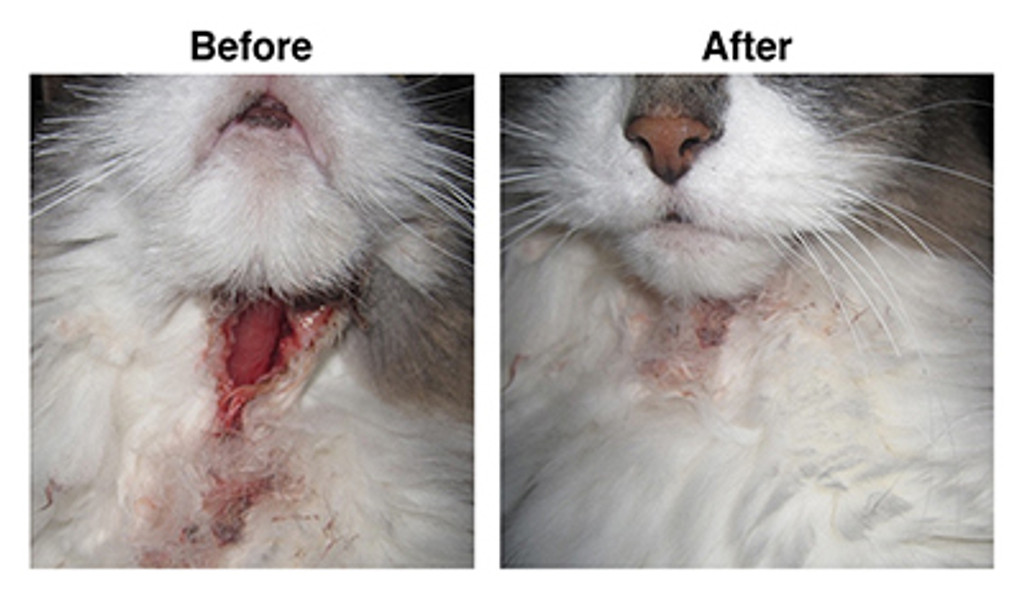 Before and After PuriShield™ Wound Spray cat