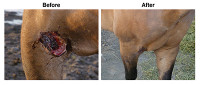 Before and After PuriShield™ Wound Spray horse