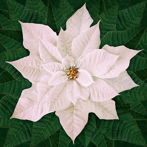 Hoffman Dream Big  Holiday White