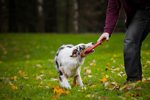 Dog Training - Using Toys for Recall