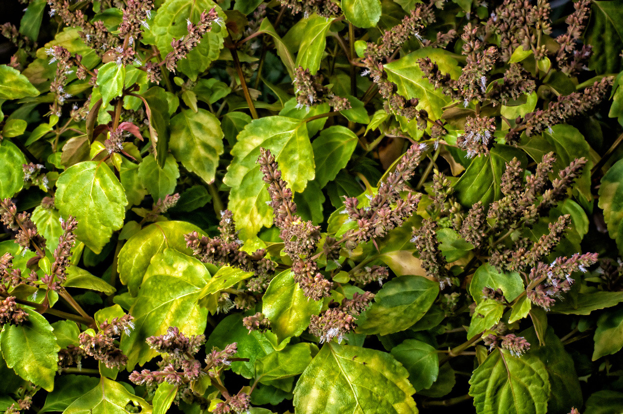 Patchouli Essential Oil - Organic Leaves