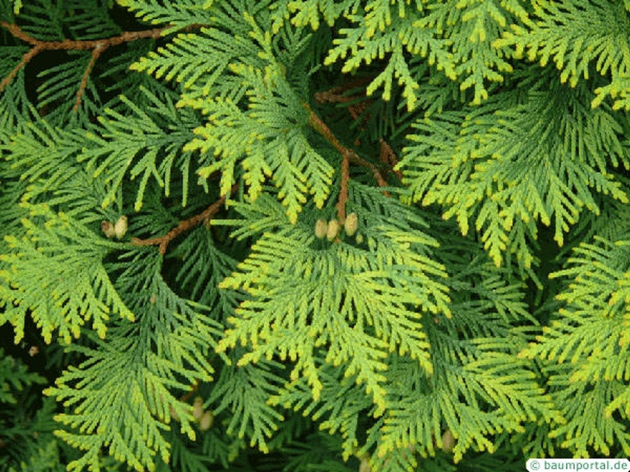 Atlas Cedarwood Essential Oil - 100% Natural, Pure and Therapeutic Grade by Grampa's Garden, Made in Maine USA