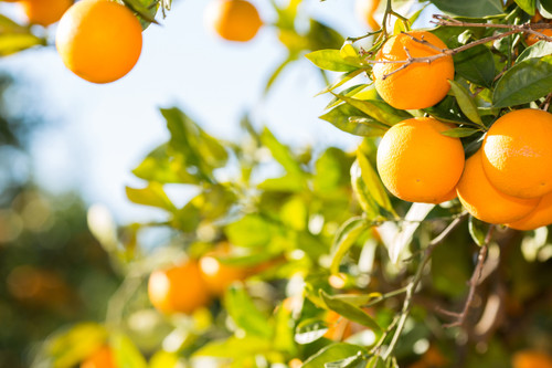 Sweet Orange Essential Oil is Pure, Organic and Cold Pressed from Sweet Orange