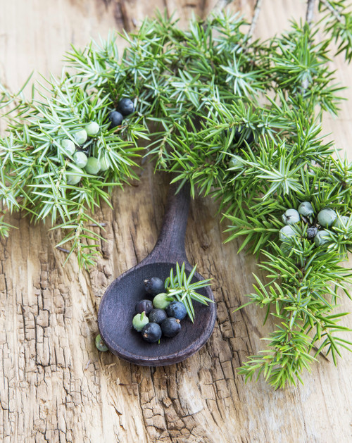 Juniper Berry - Juniperus communis