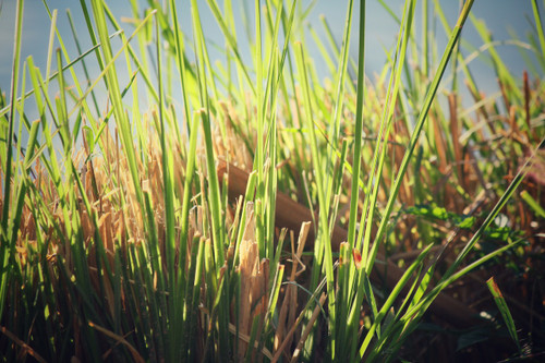 Vetiver - Vetiveria zizanoides