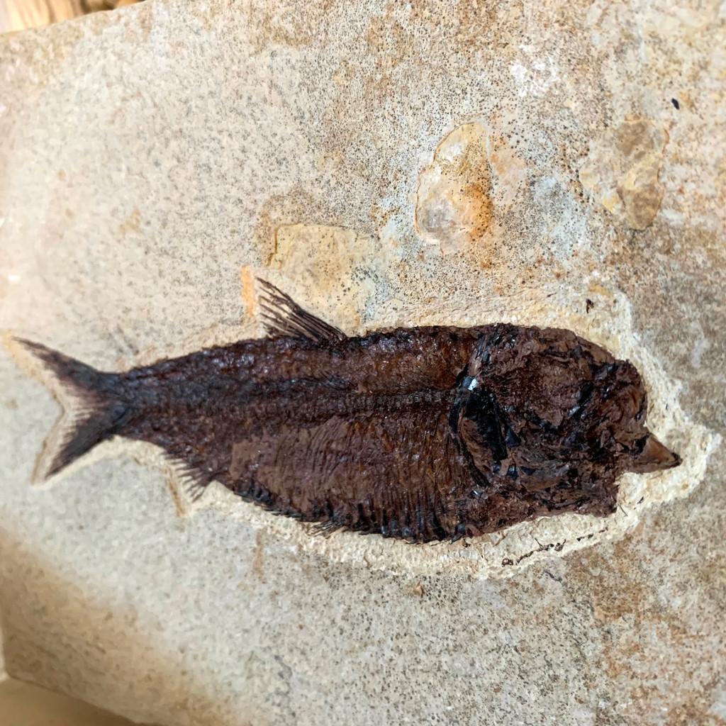 Diplomystus Dentatus Fish Fossil