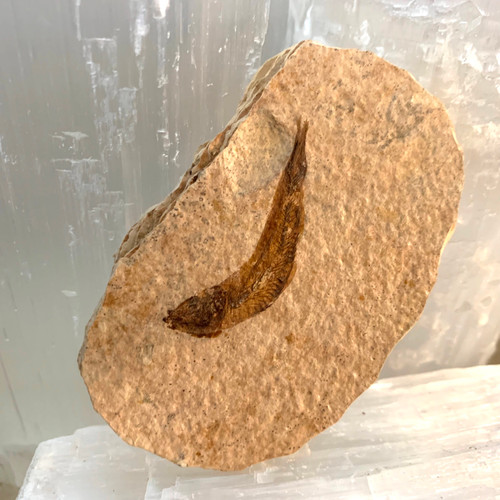 Knightia Fish Fossil