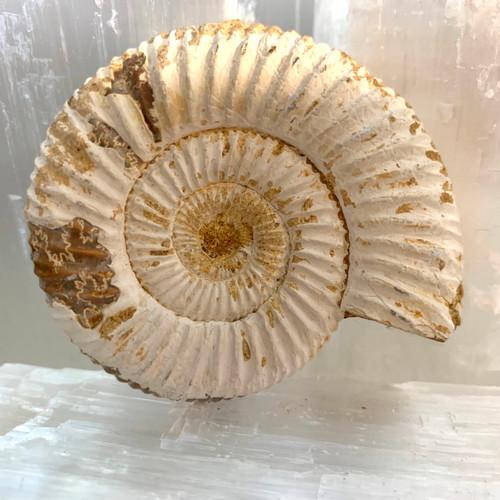 Ammonite Perisphinctes Fossil