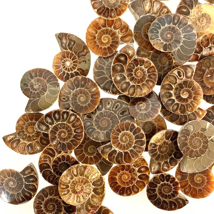Ammonite Cleoniceras Fossils