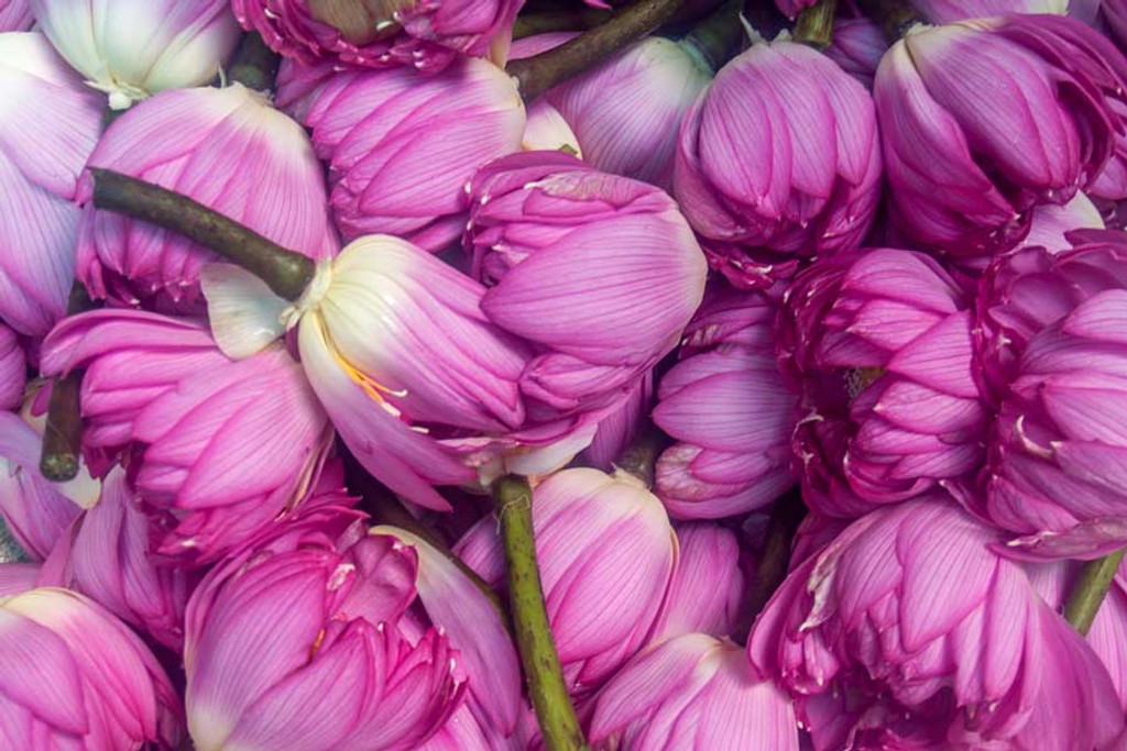 Lotus Flowers Vietnam