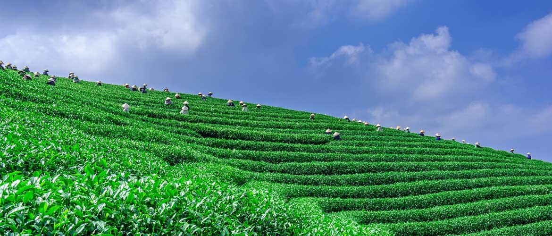 Small Batch Farm Teas