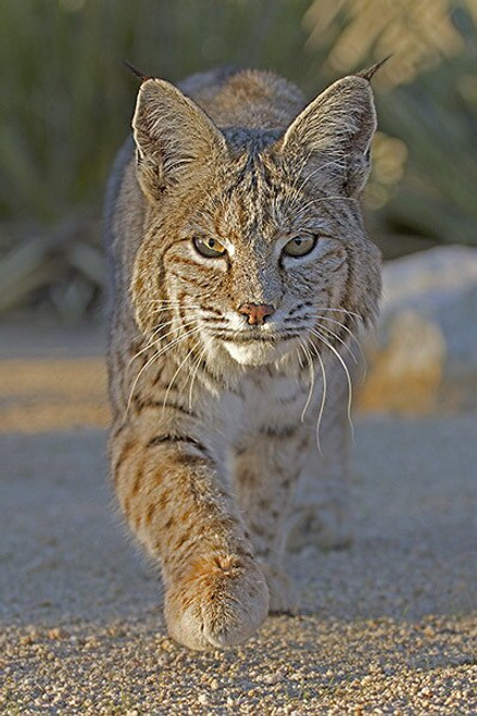 Bobcat Stroll by local photographer David McChesney