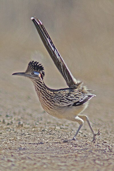 Excited Roadrunner by local photographer David McChesney