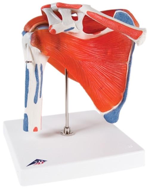 Anatomical Model: Shoulder Joint w/Rotator Cuff