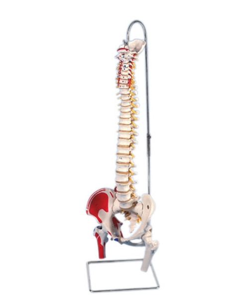 Anatomical Model: Flexible Spine, Classic, Femur Heads, Painted