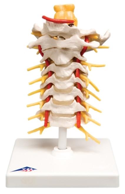 Anatomical Model: Cervical Spinal Column