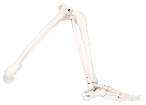 Anatomical Model: Loose Bones, Leg Skeleton, Left