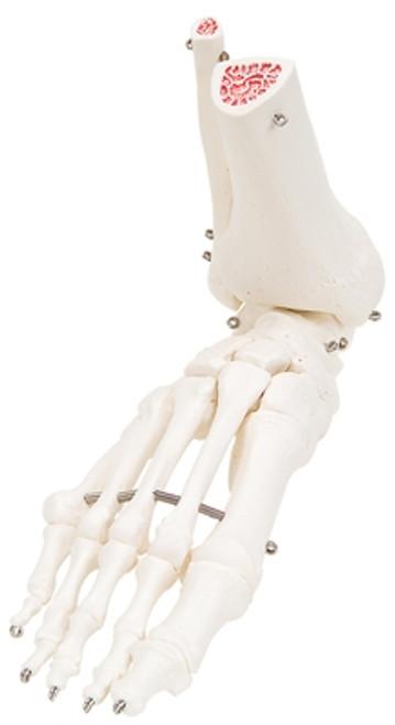 Anatomical Model: Loose Bones, Leg Skeleton w/Hip, Right