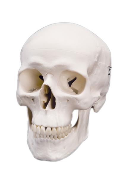 Anatomical Model: Classic Skull, 3-Part