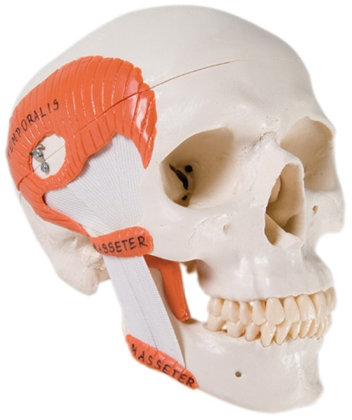 Anatomical Model: Functional Skull, 2-Part w/Masticator Muscles