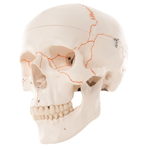Anatomical Model: Classic Skull, 3-Part Numbered