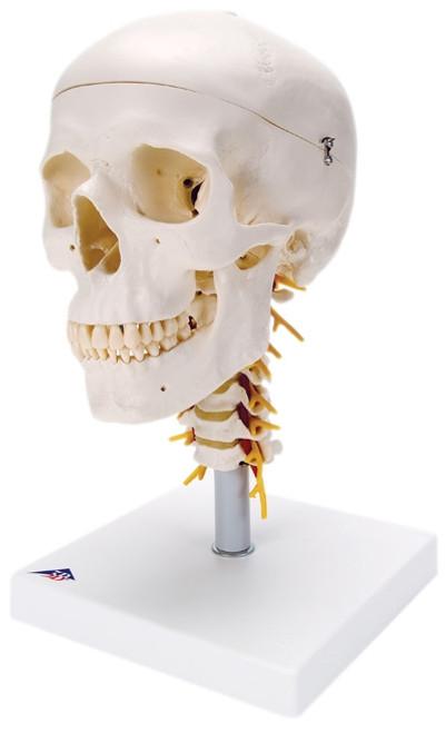 Anatomical Model: Classic Skull, 4-Part, On Cervical Spine