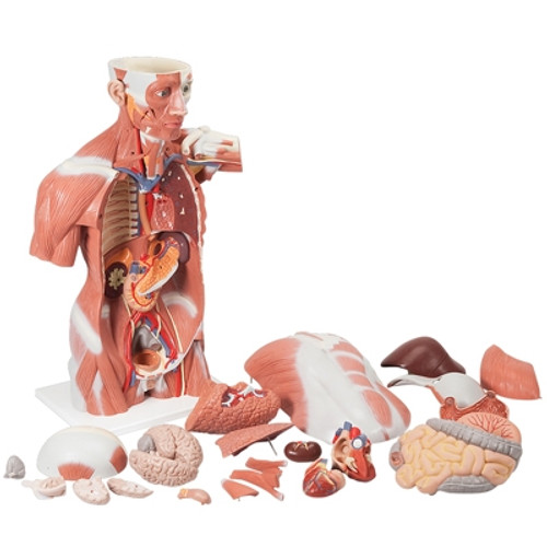 Anatomical Model: Life Size Muscle Torso, 27-Part