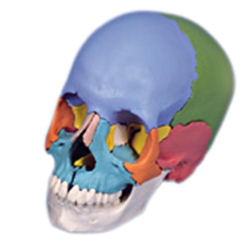 Anatomical Model: Didactic Skull, Beauchene 22-Part