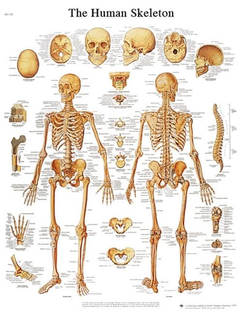 Sticky Back Anatomical Chart