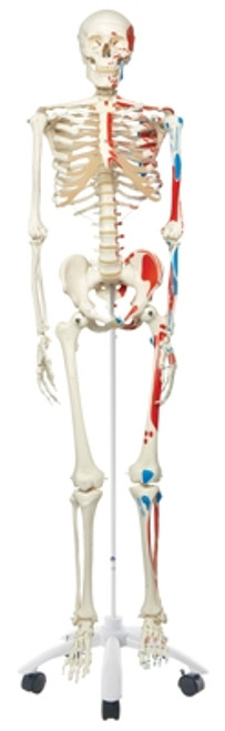 Anatomical Model: Max The Muscle Skeleton w/Pelvic On Roller Stand