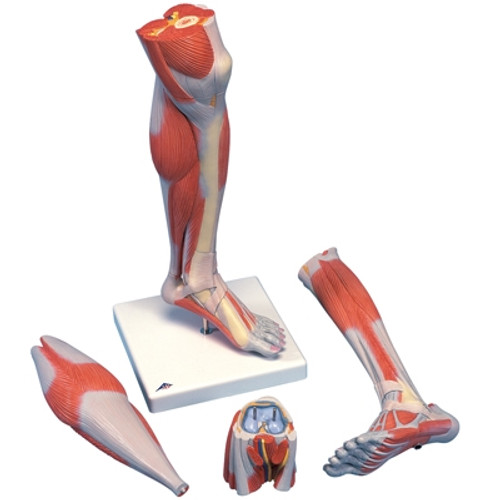 Anatomical Model: Life Size Lower Muscle Leg with Detachable Knee, 3-Part
