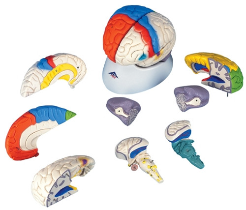 Anatomical Model: Brain Neuro-Anatomical