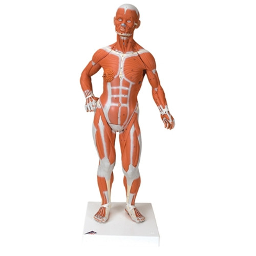 Anatomical Model: 1/4 Life Size Muscle Figure, 2-Part