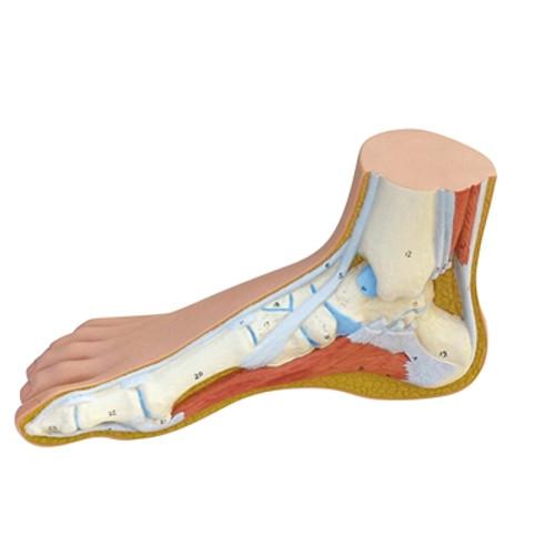 Anatomical Model: Normal Foot