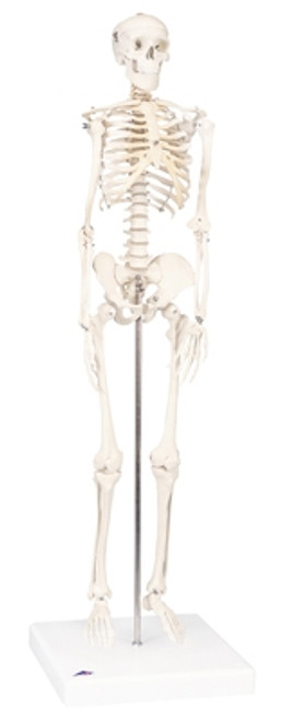 Anatomical Model: Mini Skeleton