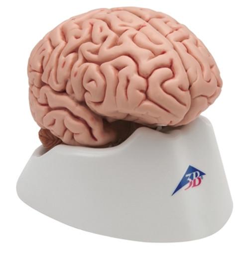 Anatomical Model: Classic Brain 5-Part