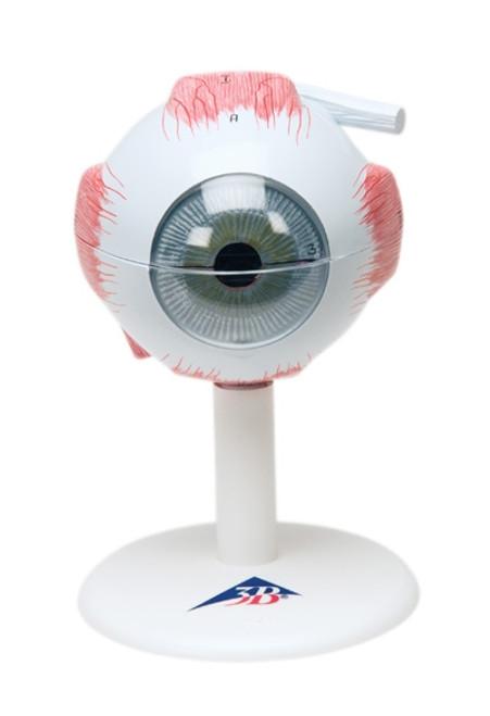 Anatomical Model: Eye, 6-Part (3X Size)