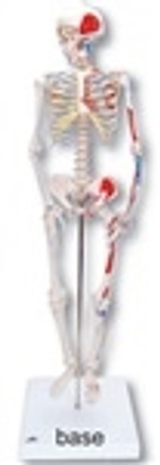 Anatomical Model: Mini Skeleton w/Muscles On Base